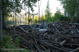 A giant beaver dam anchors a beaver pond, a few steps from the nearest dwelling...
