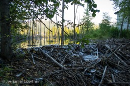 …a little water flows through the logs placed there by the industrious beavers.
